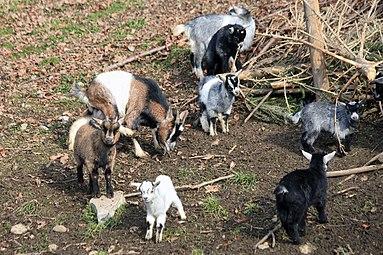 Zwergziegen Zoo Salzburg 2014 a.jpg