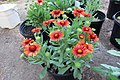 'Arizona Red Shades' gaillardia IMG 5421.jpg