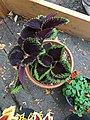 'Giant Exhibition Magma' coleus IMG 1037.jpg