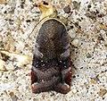 (2111) Lesser Broad-bordered Yellow Underwing (Noctua janthe) (5970668208).jpg