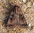 (2131) Square-spotted Clay (Xestia rhomboidea) (6006076642).jpg