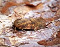 (2316) Lesser-spotted Pinion (Cosmia affinis) (29639688385).jpg