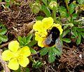 ^Red-tailed Bumblebee. Bombus lapidarius - Flickr - gailhampshire.jpg