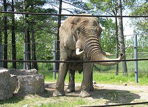 Parc Safari - Image: Éléphant africain, Parc Safari