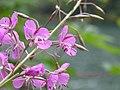 Épilobe à feuilles étroites (Chamerion angustifolium) (2).jpg