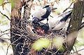 Кормление птенцов вороны.jpg