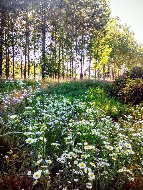 Специјални резерват природе Брзанско Моравиште, цвеће у сенци топола