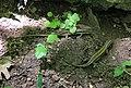 Я́щірка вірме́нська (Darevskia armeniaca) в Житомирській області.jpg