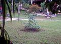 שתיל של עץ כוריזיה בקבוקית.jpg