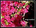 زهور الربيع.jpg