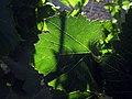 مناظر و چشم اندازهای شمال ایران- درخت مو یا انگور.jpg