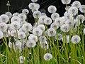 タンポポの種(綿毛)北海道6200416.jpg