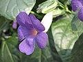 山牽牛屬 Thunbergia togoensis -英格蘭 Wisley Gardens, England- (9198099937).jpg