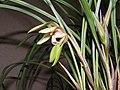 春蘭朵香蝶 Cymbidium goeringii v forrestii 'Butterfly' -香港沙田國蘭展 Shatin Orchid Show, Hong Kong- (12316833213).jpg