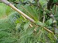 枝の伸長.jpg