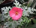 球葵屬 Sphaeralcea rusbyi v gilensis -哥本哈根大學植物園 Copenhagen University Botanical Garden- (36598950080).jpg