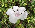 白背杜鵑 Rhododendron leucaspis -日本大阪鮮花競放館 Osaka Sakuya Konohana Kan, Japan- (27355332997).jpg