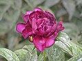 芍藥-薔薇型 Paeonia lactiflora Rose-series -瀋陽植物園 Shenyang Botanical Garden, China- (9204845239).jpg