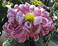 菊花-兼雲 Chrysanthemum morifolium -香港圓玄學院 Hong Kong Yuen Yuen Institute- (11961173965).jpg