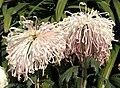 菊花-湘妃鼓瑟 Chrysanthemum morifolium 'Queen Xiang Playing Xe' -香港圓玄學院 Hong Kong Yuen Yuen Institute- (11994574265).jpg