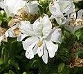 蛾蝶花 Schizanthus pinnatus -上海國際花展 Shanghai International Flower Show- (17353444875).jpg