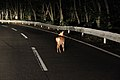 赤城山の野生シカ(小鹿) - panoramio (1).jpg