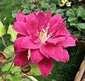 鐵線蓮 Clematis 'Red Star' -上海國際花展 Shanghai International Flower Show- (17350532511).jpg