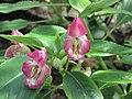 鳳仙花屬 Impatiens bisacatta -倫敦植物園 Kew Gardens, London- (9200878540).jpg
