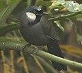 黑喉噪鹛Garrulax chinensis.jpg