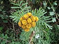 -2018-08-27 Common Tansy (Tanacetum vulgare) Heath Lane, Trimingham, Norfolk (2).JPG