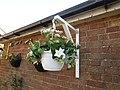 -2019-08-06 White hanging basket, Trimingham.JPG