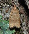 - 0956 – Psilocorsis cryptolechiella – Black-fringed Leaftier Moth (18420970018).jpg