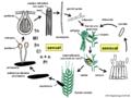 04 03 32 ciclo de vida, Claviceps purpurea, Clavicipitaceae, Hypocreales, Ascomycota (M. Piepenbring).png