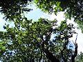 090716 - Mieszko Oak - 03.jpg