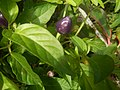 0998Ornamental plants in the Philippines 38.jpg