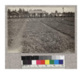 1-1 redwood transplants at Fort Bragg Nursery. Sept. 1, 1923.png