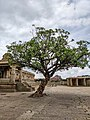 150 Year Old Tree in Vitthala Temple Complex.jpg