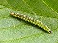 17.010 BF460 Ypsolopha parenthesella, larva. (9041635294).jpg