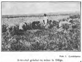 1910 Seceratul grâului la mâna.PNG