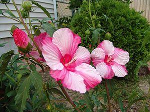 Malvales - Hibiscus moscheutos