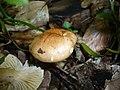 2007-09-14 Hygrophorus lindtneri M.M. Moser 206440.jpg