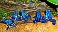 2009-04-05Dendrobates tinctorius azureus039.jpg