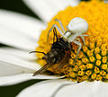 2012-06-24 17-14-13-thomisidae-on-flower.jpg