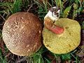 2012-07-10 Xerocomellus chrysenteron crop.jpg