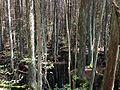 2013-05-10 13 55 05 Atlantic White Cedar swamp along the Mount Misery Trail in Brendan T. Byrne State Forest.JPG
