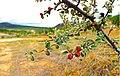 20130528拉市海西侧省道S308坡道边丘陵地红豆灌木 - panoramio.jpg