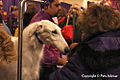 2013 Westminster Kennel Club Dog Show (8466457043).jpg