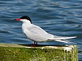 2014-05-18 Sterna hirundo, Killingworth Lake, Northumberland 04.jpg