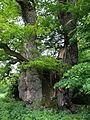 2014-05 Naturdenkmal 1000j Eiche bei Borlinghausen (Nordrhein-Westfalen).jpg