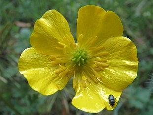 цветок фото лютик